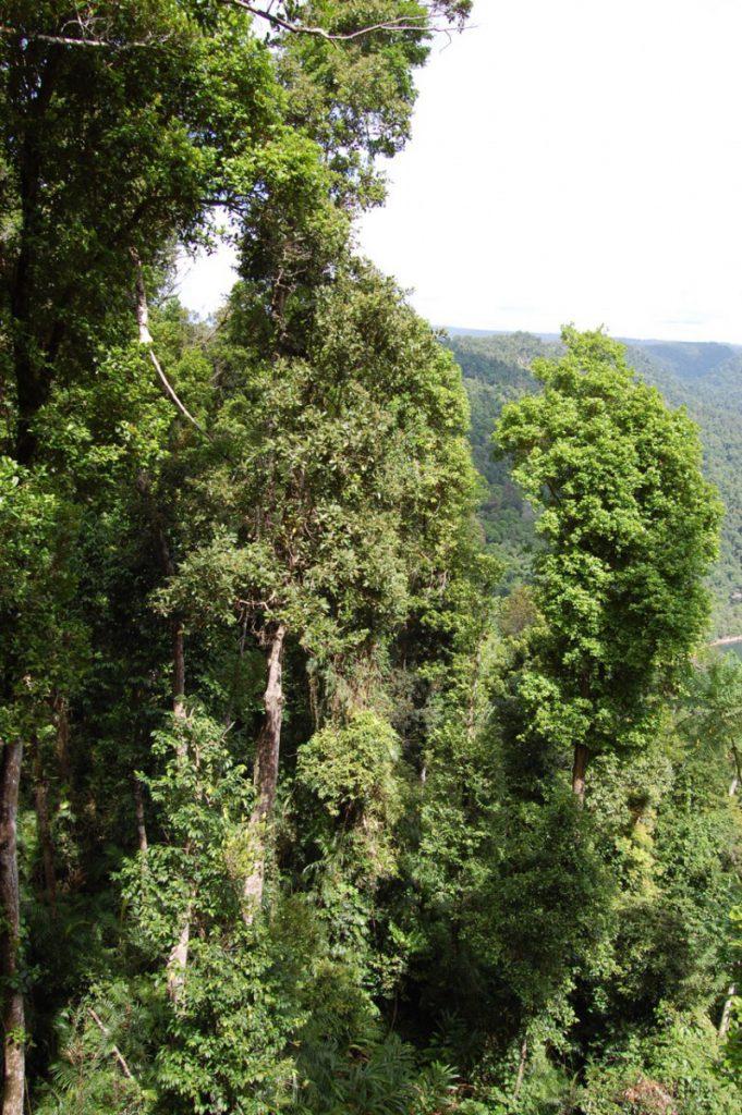 Mamu Tropical Skywalk durch den Regenwald